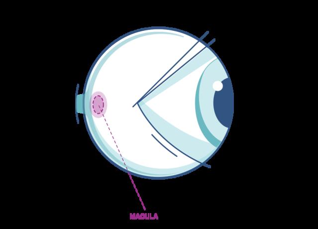 Macula Diagram
