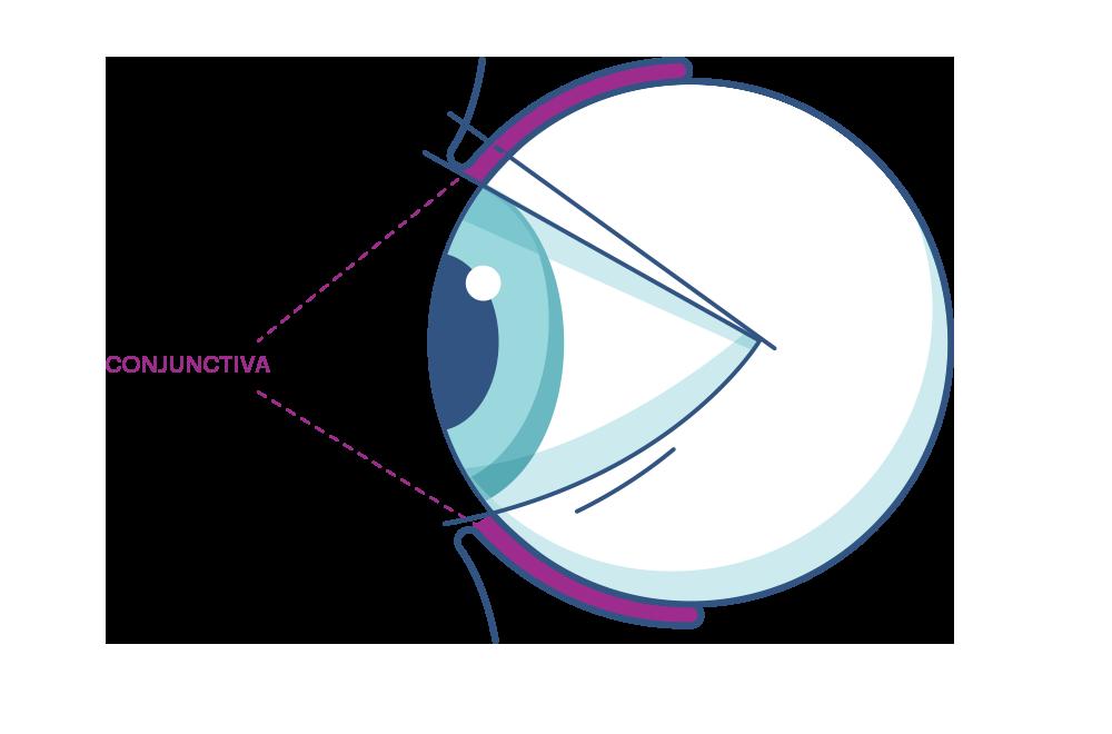 Conjunctiva Diagram